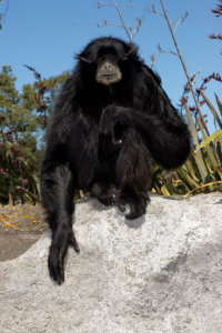 Siamang(copy)